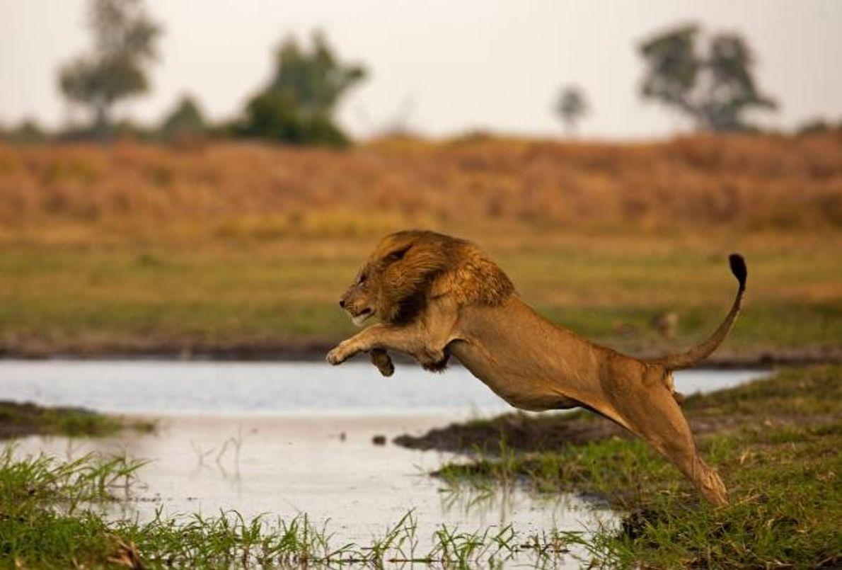 Um leão macho salta para transpor um canal.