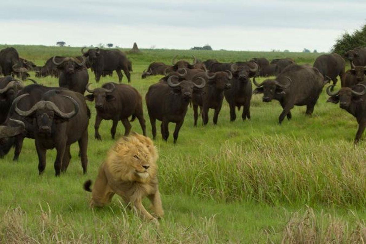 Um leão foge de uma manada de búfalos.