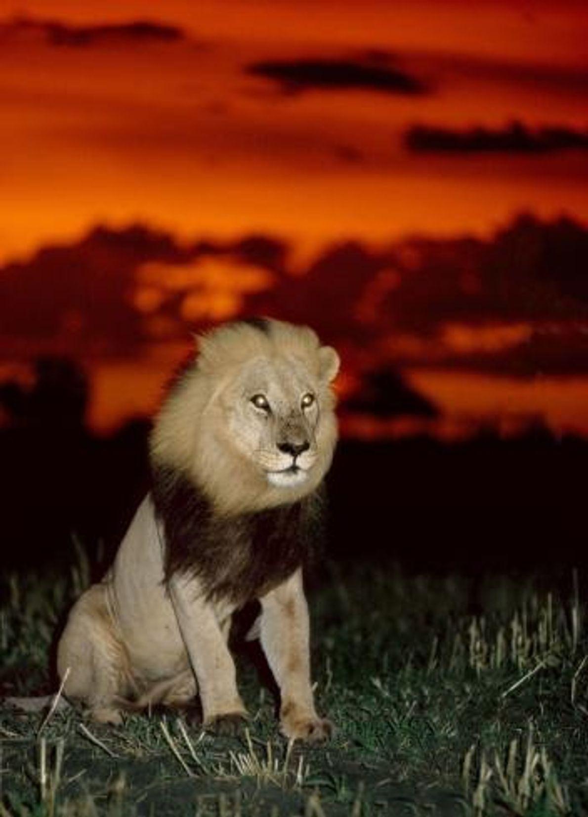 Um leão repousa sob um céu vermelho em Ntchwaidumela, no Botswana.