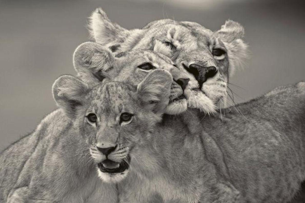 Uma leoa e as crias encavalitam-se umas nas outras.