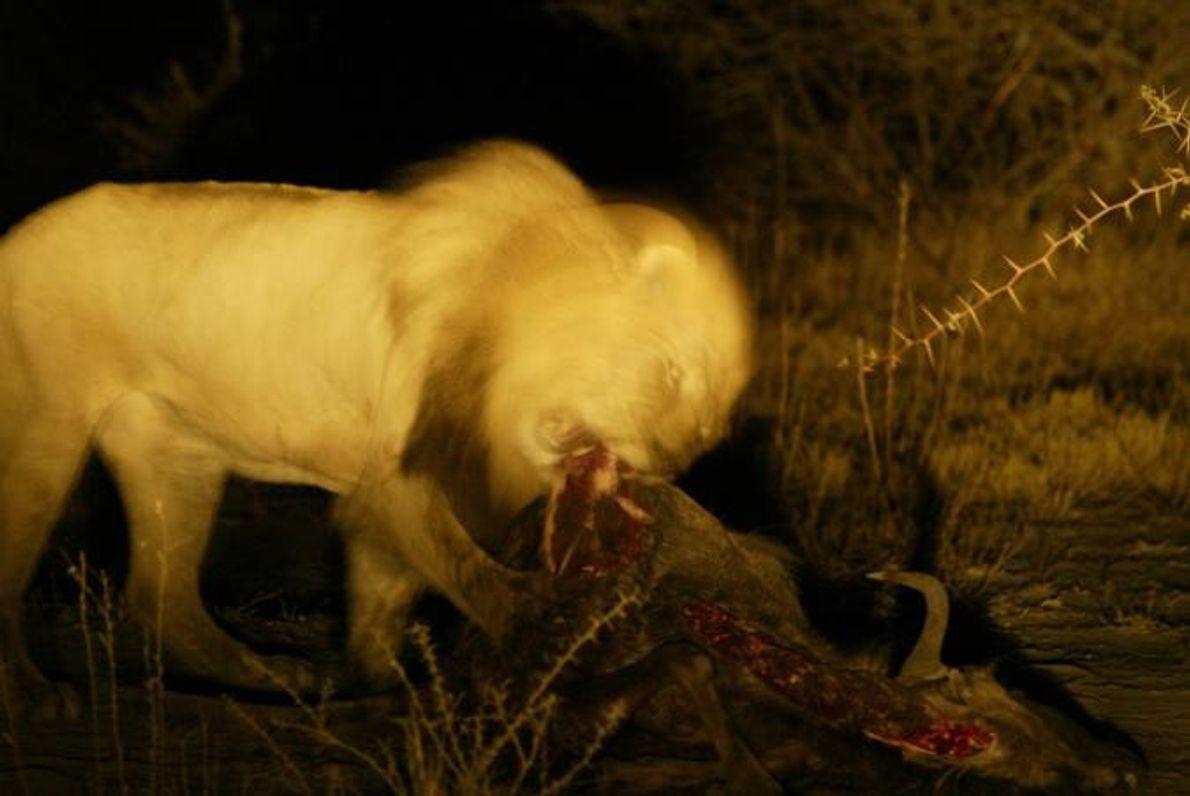 Durante a noite, um leão alimenta-se de um búfalo-africano.
