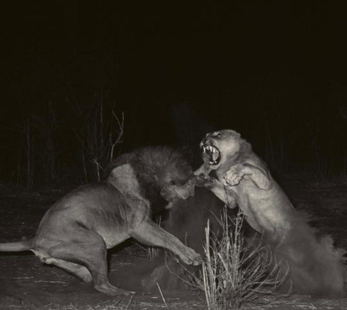 Uma leoa defende-se de um leão.