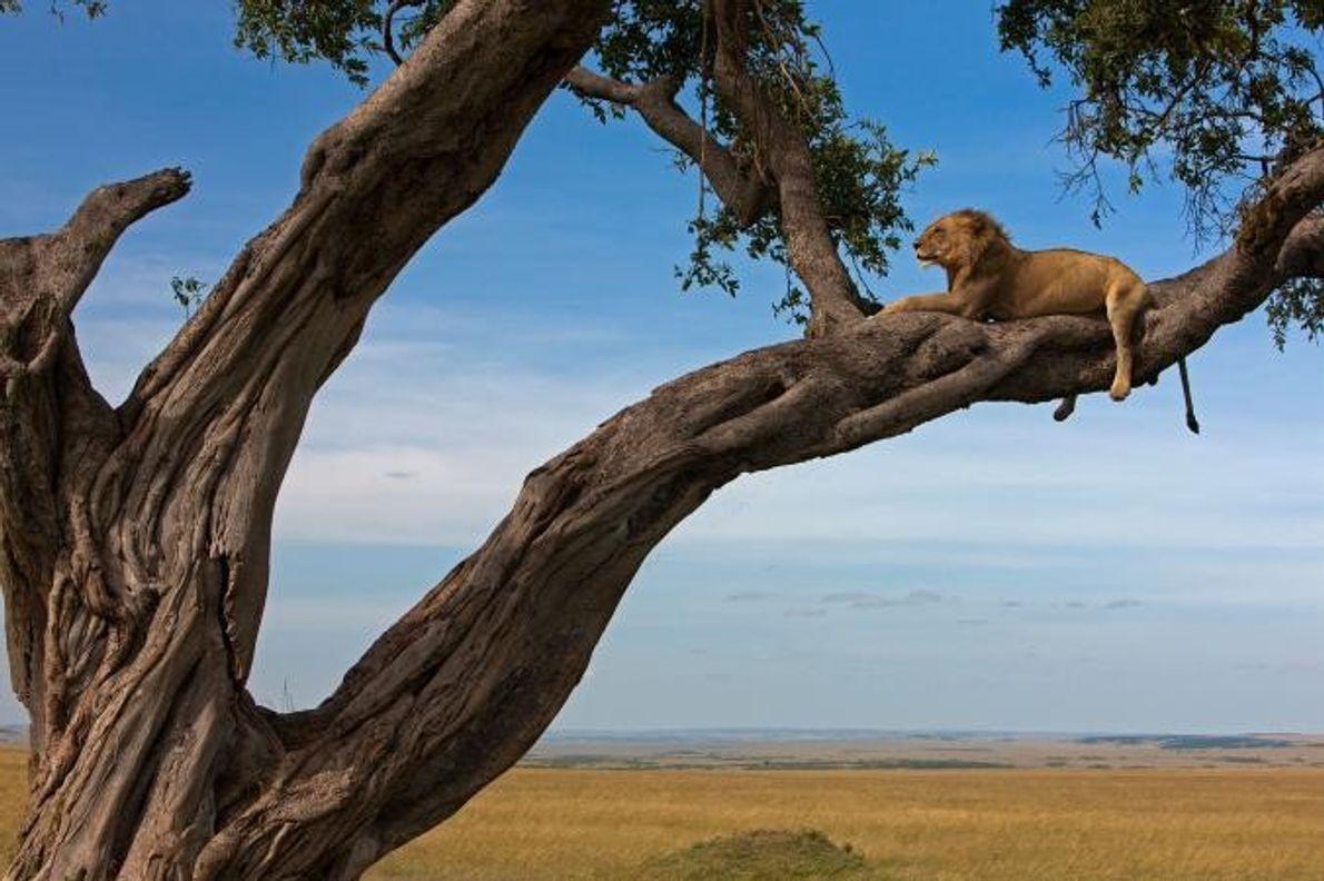 Um leão macho repousa sobre o ramo de uma árvore, enquanto observa as planícies verdejantes de …