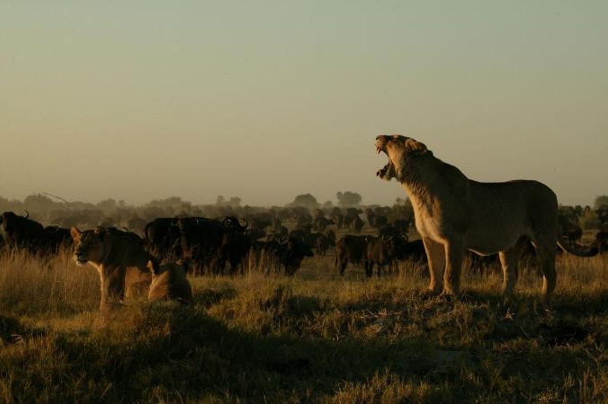 Um grupo de leões vagueia perto de uma manada de búfalos.