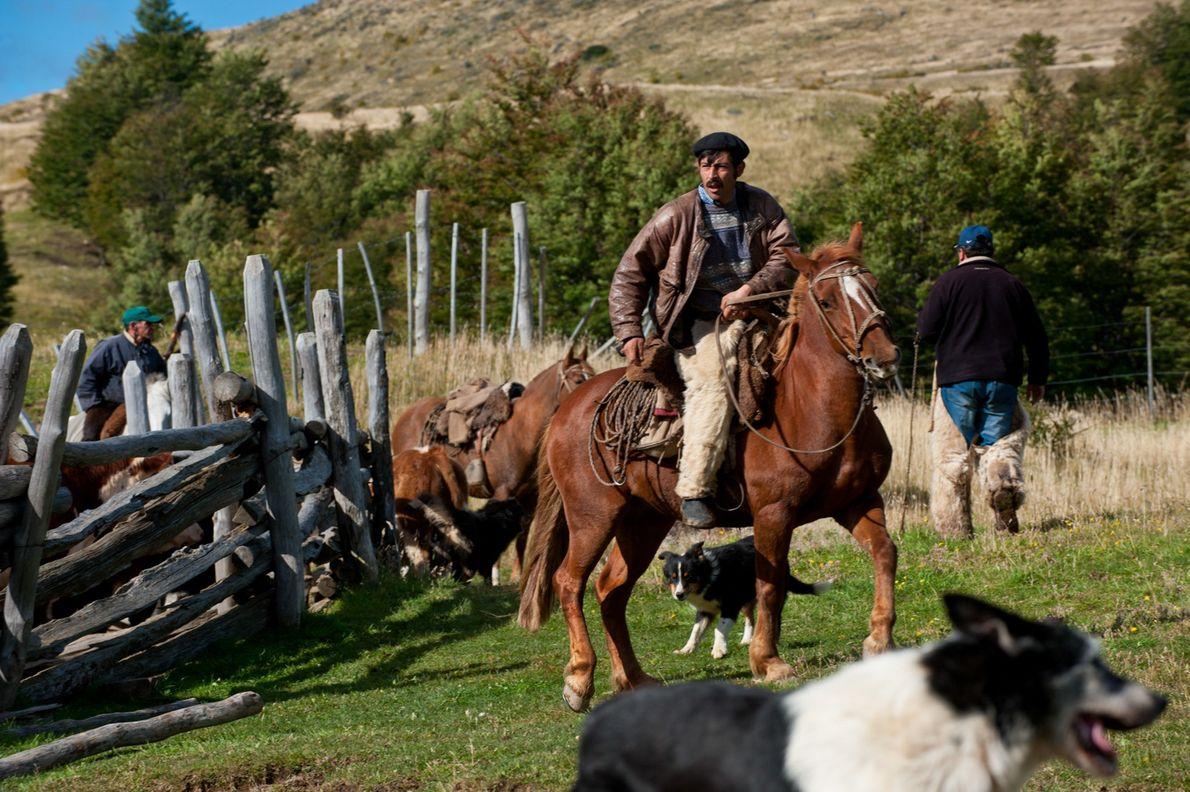 Um homem a cavalo conduz uma manada de vacas, numa quinta familiar ao longo do Rio ...
