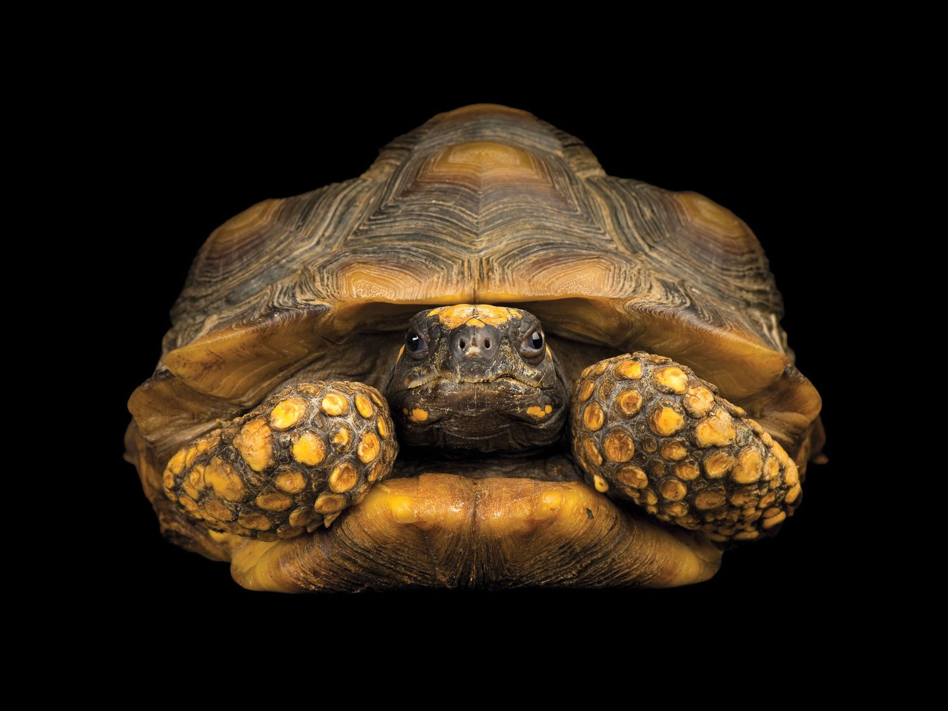 A tartaruga Chelonoidis denticulata (vulnerável), da América do Sul e Caraíbas, é caçada pela sua carne, ...