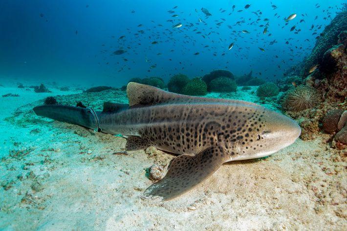 Um tubarão-zebra.