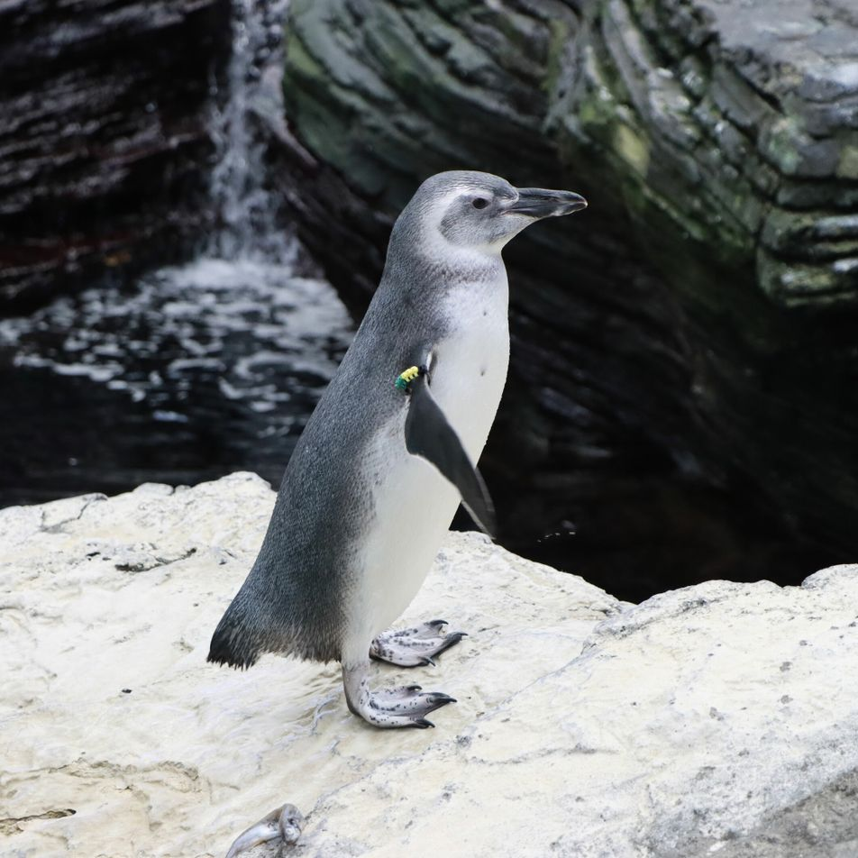 Cria de Pinguim-de-Magalhães Nasce no Oceanário de Lisboa