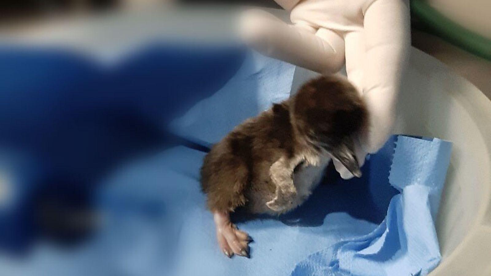 Uma fotografia de Zazu, no dia após nascer.