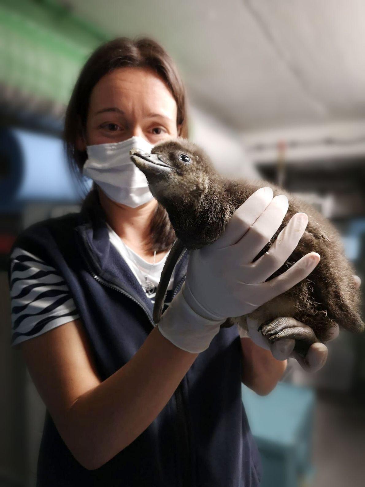 Zazu é observado por uma especialista do Oceanário, 10 dias após o seu nascimento.