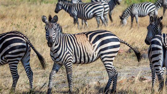 Zebras com Manchas e Listas Estranhas Podem Ser Um Aviso Para o Futuro da Espécie