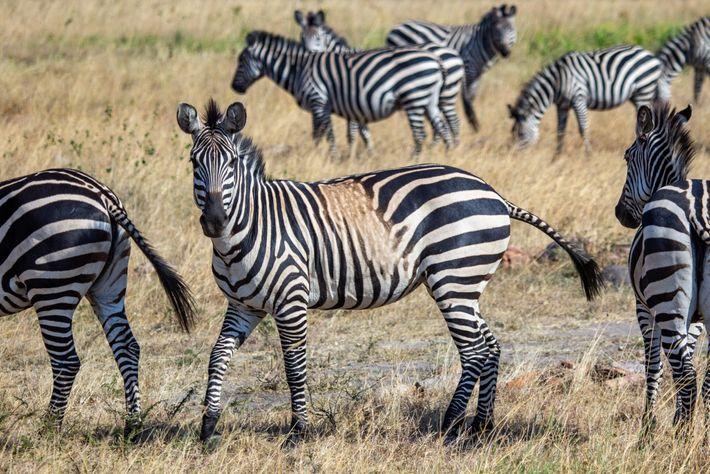 Uma zebra-das-planícies com uma mancha sobre as listas na sua pelagem, no Parque Nacional Akagera do ...