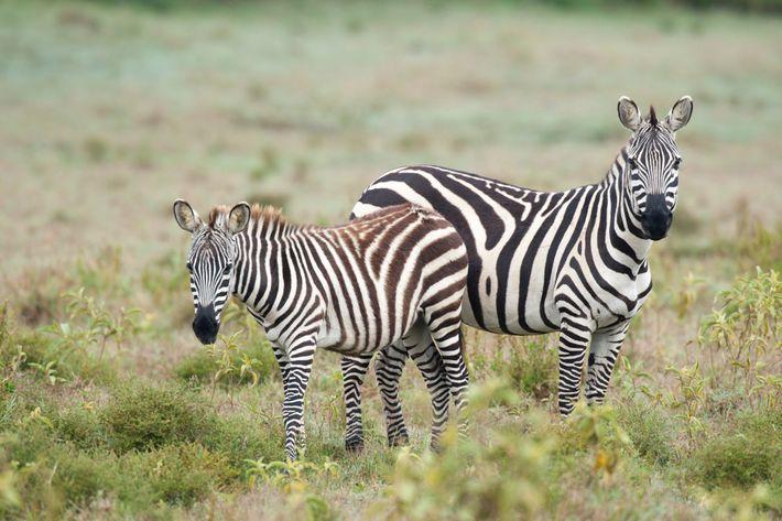 No Parque Nacional Hell's Gate, os turistas podem fazer um safari de bicicleta entre as zebras.