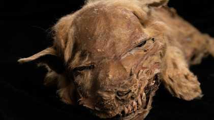 Cria de Lobo com 57.000 Anos Encontrada Congelada no Pergelissolo de Yukon