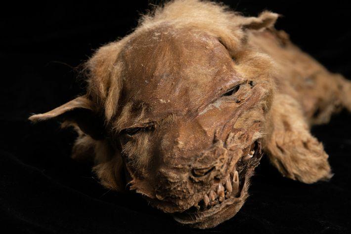 O incrível estado de preservação de Zhur, uma cria de lobo, permite aos cientistas estudar as ...