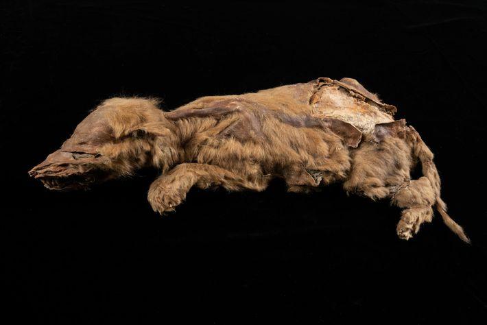 Com apenas sete semanas de vida quando morreu, a jovem loba pertencia a uma população que ...