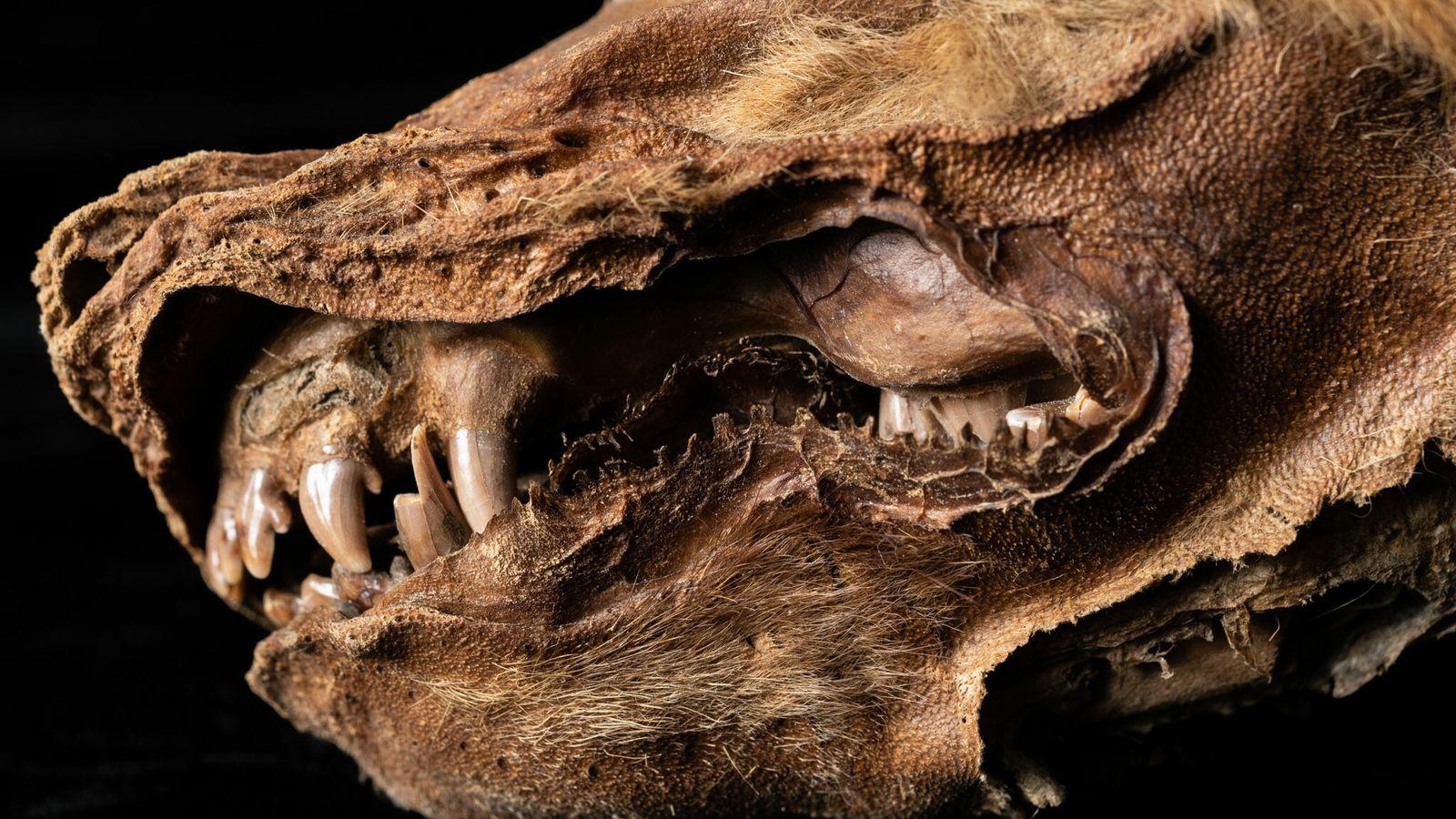 Uma cria de lobo bem preservada foi recuperada no pergelissolo no Território de Yukon, no norte ...